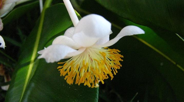 tamanu flower