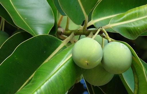 unripe tamanu nuts