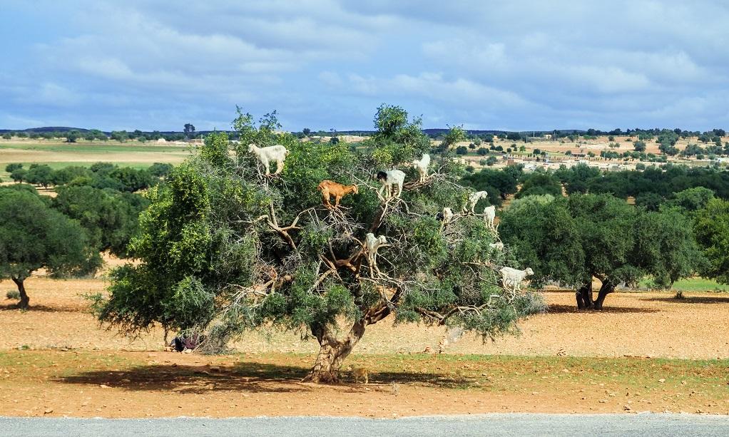 Goats climb up the argan tree to eat its nuts